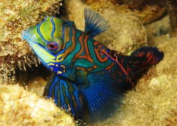 2015_06_27_Palau_Mandarinfisch_c_Judith_Hoppe