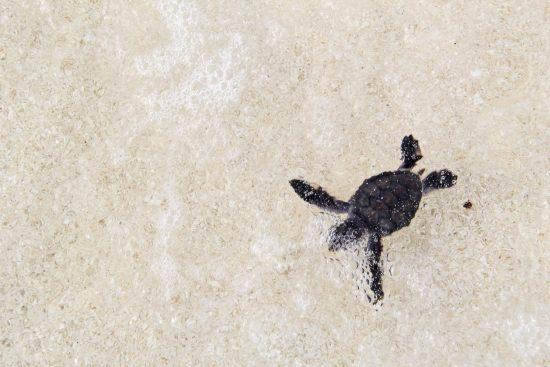2015_08_17_Schildkroeten_Babyschildkroete_im_Meer2_Quelle_Velassaru_Maldives