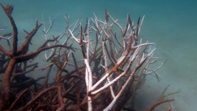 2016_05_30_Tote-Korallen_Dead and dying staghorn coral, central Great Barrier Reef in May 2016. Credit Johanna Leonhardt_Bildgröße ändern
