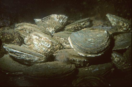 Die Europäische Auster Ostrea edulus im Aquarium auf Helgoland