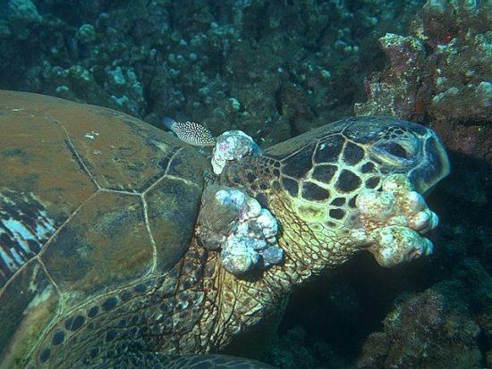 2016_07_07_Grüne Schildkröte_c_NOAA_Ursula_Keuper-Bennett_Peter_Bennett