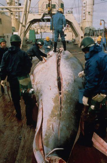 Whaling14_c_Mark Votier_Bildgröße ändern