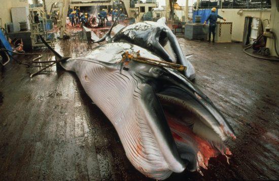 Whaling19_c_Mark Votier_Bildgröße ändern