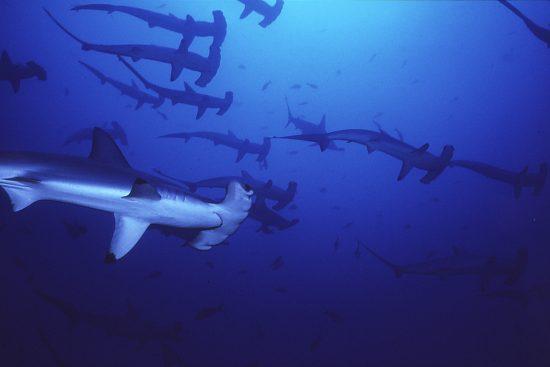 2016_08_14_Rote-Liste_Hammerhaie_01_c_Wikipedia_Seawatch_org