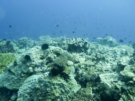20140323_coral_zooplankton_healthyreef_JoySmith_Bildgröße ändern