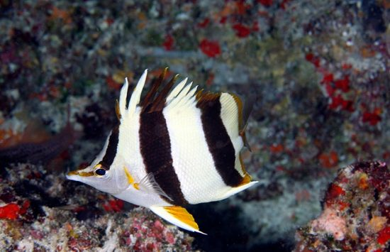2016_09_07_NewButterflyfish_butterflyfish_c_NOAA_Greg_McFall
