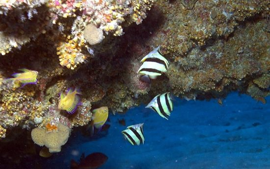 2016_09_07_NewButterflyfish_butterflyfish_c_NOAA_Richard_L_Pyle