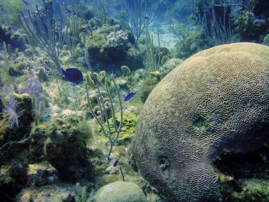 2016_09_25_Korallenarchiv_2015-07-15_Diploria__strigosa_SHetzinger-GEOMAR_Bildgröße ändern