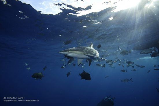 silky shark, Carcharhinus falciformis, San Benedicto, Revillagigedo (Socorro) Islands, Mexico, East Pacific Ocean