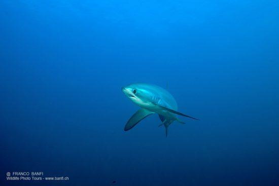 thresher shark, Alopias vulpinus, Vulnerable (IUCN), Monad shoal Reef, Malapascua Island, Central Visayas, Philippines, Pacific Ocean