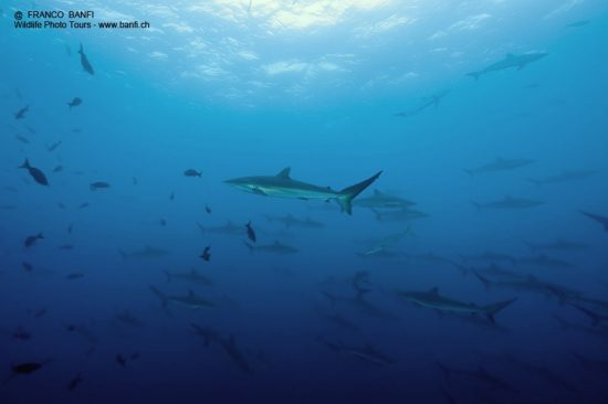 Shoal of Silky sharks, Carcharhinus falciformis, Malpelo Island, National Park, Natural World Heritage Site, Colombia, East Pacific Ocean