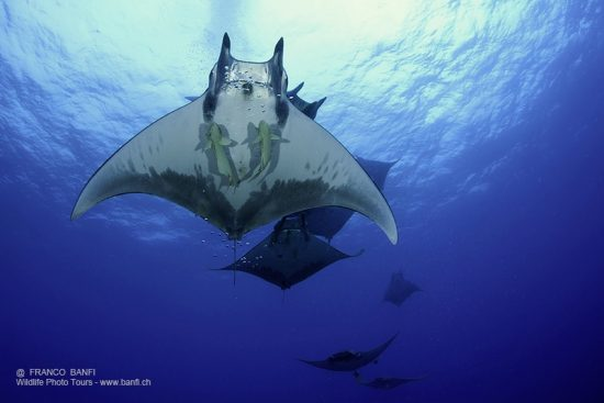 Sicklefin Mantas, Mobula tarapacana, Ambrosio dive site, Santa Maria Island, Azores, Portugal, Atlantic Ocean