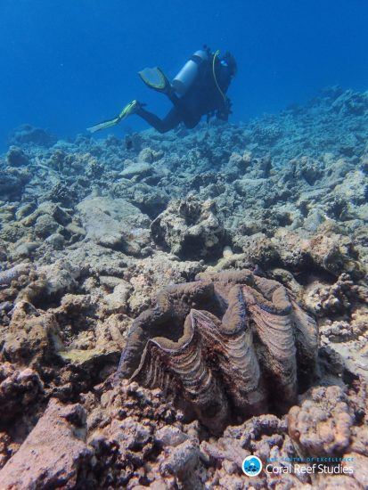 This giant clam used to sit in a colorful field of corals before March 2016 – now she is alone on the reef slope. Noname reef (Lizard Island region), October 2016. Photo by Greg Torda _Bildgröße ändern