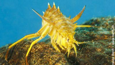 Freshwater isopod, Amphipod gammarus (Acanthogammarus victorii), Lake Baikal, Siberia, Russia