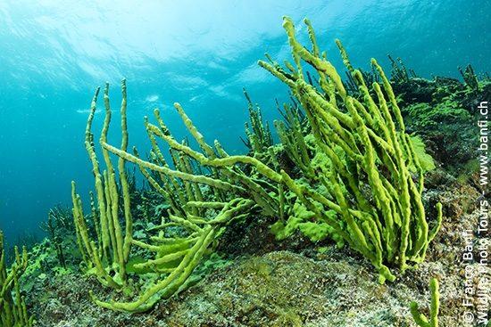 Endemic sponge (Lubomirskia baicalensis), Lake Baikal, Siberia, Russia