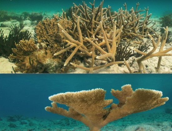 Screenshot_3_staghorn_elkhorn_corals