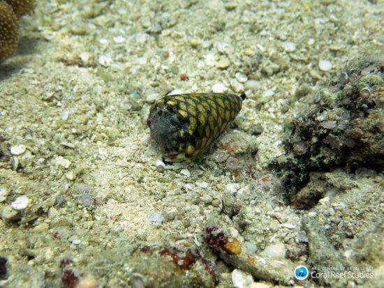 #1 Cone Snail at the bottom of the ocean