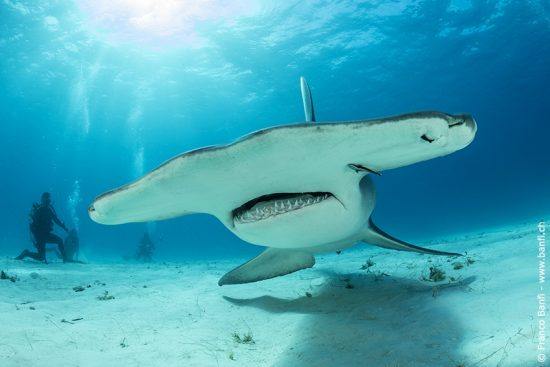 Great hammerhead shark (Sphyrna mokarran) swimming over a sandy seabed, South Bimini, Bahamas. The Bahamas National Shark Sanctuary, West Atlantic Ocean.
