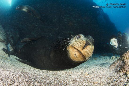Adult mail of California sea lion, (Zalophus californianus) and scuba diver, Los Islotes, Sea of Cortez, Baja California, Mexico, East Pacific Ocean