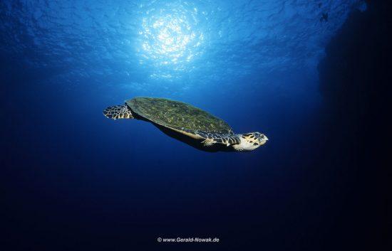 Unechte Karettschildkröte im Blauwasser