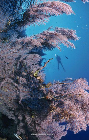 Gorgonienriff auf Christmas Island