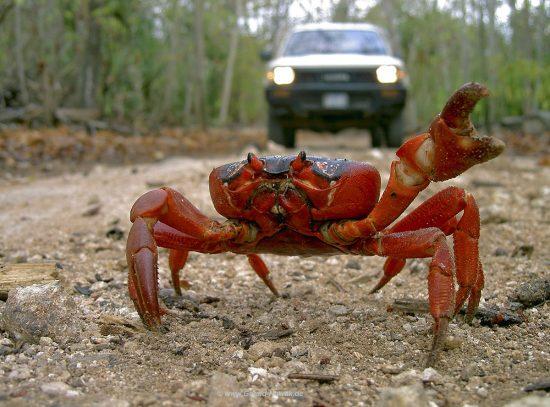 Rote Krabben von Christmas Island - Red Crab