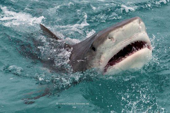 Bahamas; tiger shark at the Bahama Bank; fish   Galeocerdo cuvier; Carcharhinidae; Galeocerdo, Selachii