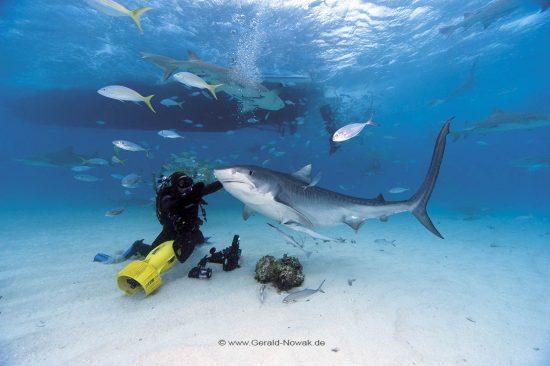 Tigerhai; Tigerhaie; Grundhaie; Requiemhaie; Hai; Haie; Fisch | Bahamas; tiger shark at the Bahama Bank; fish | Galeocerdo cuvier; Carcharhinidae; Galeocerdo, Selachii