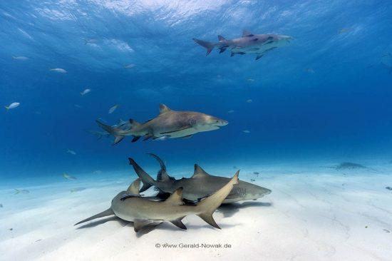 Atlantischer Zitronenhai; atlantische Zitronenhaie; Grundhaie; Requiemhaie; Hai; Haie; Fisch | Bahamas; lemon shark, sharks, fish | Negaprion brevirostris, Carcharhinidae, Negaprion