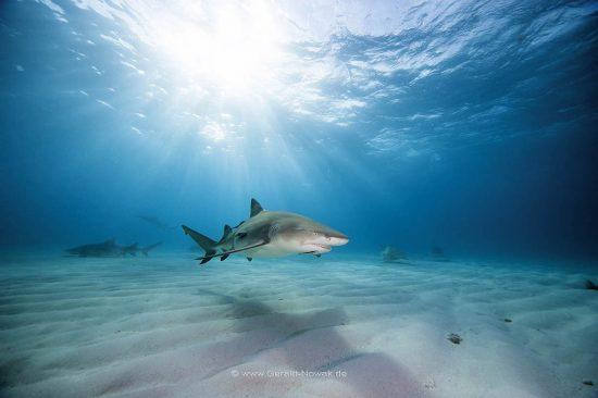 Atlantischer Zitronenhai; Zitronenhaie; Grundhaie; Requiemhaie; Hai; Haie; Fisch | Bahamas; lemon shark, fish | Negaprion brevirostris, Carcharhinidae, Negaprion
