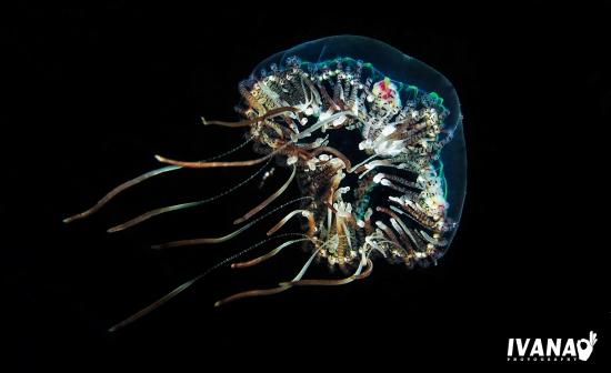meduza obrađena 1-2 (Large)