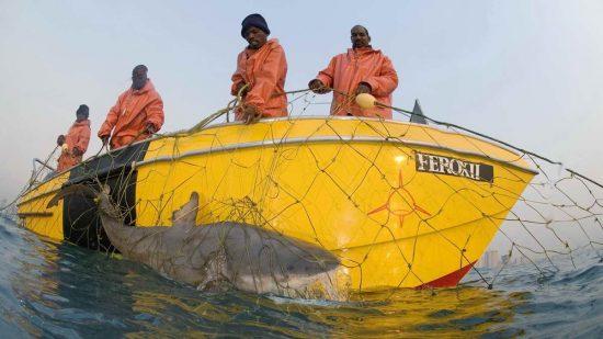 2018_08_28_Hainetze_2_A Zambezi shark Bull Shark caught in the shark nets off Durban by Fiona Ayerst