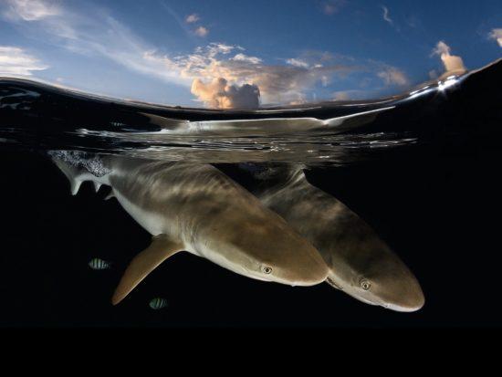 shark_decker