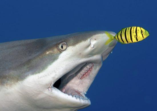 shark_judy