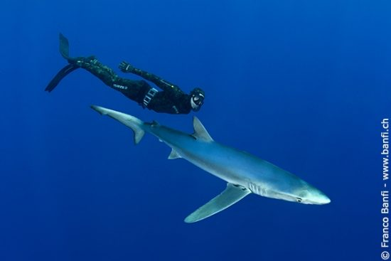 Free diver Robert with Blue shark, Prionace glauca, Pico Island, Azores, Portugal, Atlantic Ocean