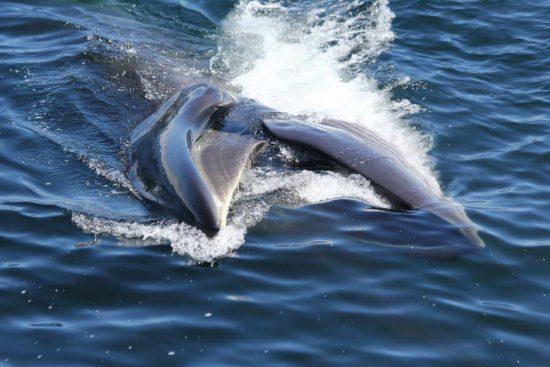 2017_11_29_Walfang_Sei_whale_WDC-Regina_Asmutis-Silvia