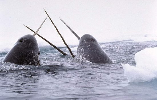 800px-Narwhals_breach_c_GSM_Glenn_Williams