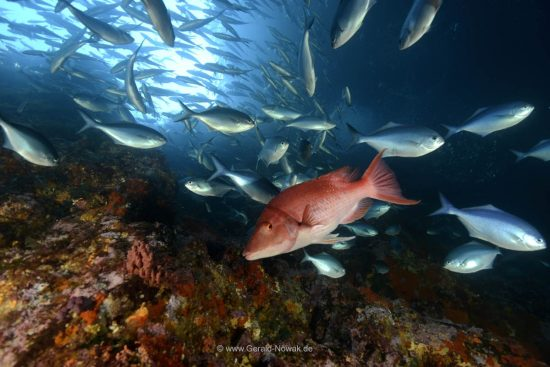 Red snapper in a cave - Poor Knights Island, New Zealand