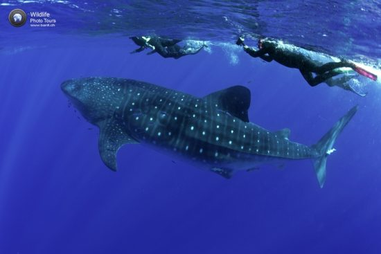 Snorkelers and whale shark, Rhincodon typus, Santa Maria Island, Azores, Portugal, Atlantic Ocean