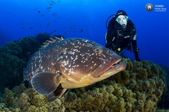 Scuba diver with Dusky grouper, Epinephelus marginatus, Formigas Islet dive site, 27 miles northeast of Santa Maria Island, Azores, Portugal, Atlantic Ocean