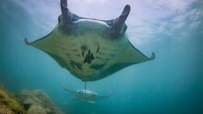 manta-diving-mating-yap-micronesia-1