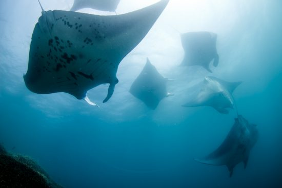 manta-diving-mating-yap-micronesia-6