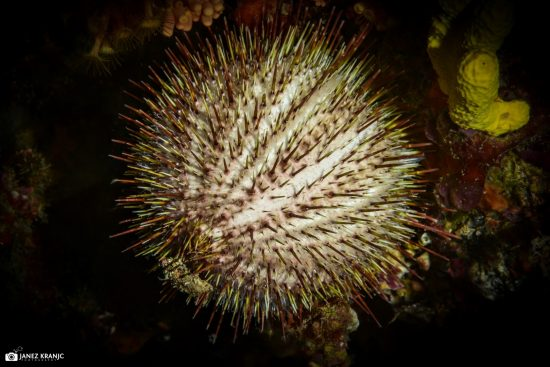 white urchin (Large)
