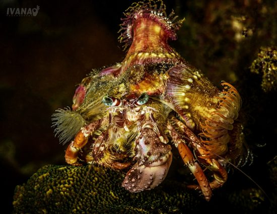 2 Hermit crab, photo by Ivana OK (Large)