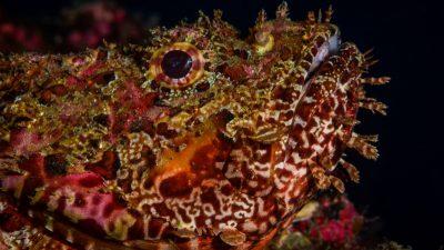 Scorpion fish-photo by Ivana OK (Large)