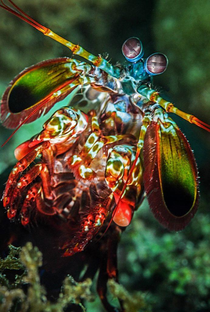 Appearances can be very deceiving! The Mantis shrimp... • Mares - Scuba Diving Blog