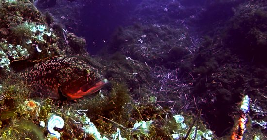 A grouper