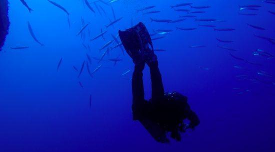 A diver amongst barracuda