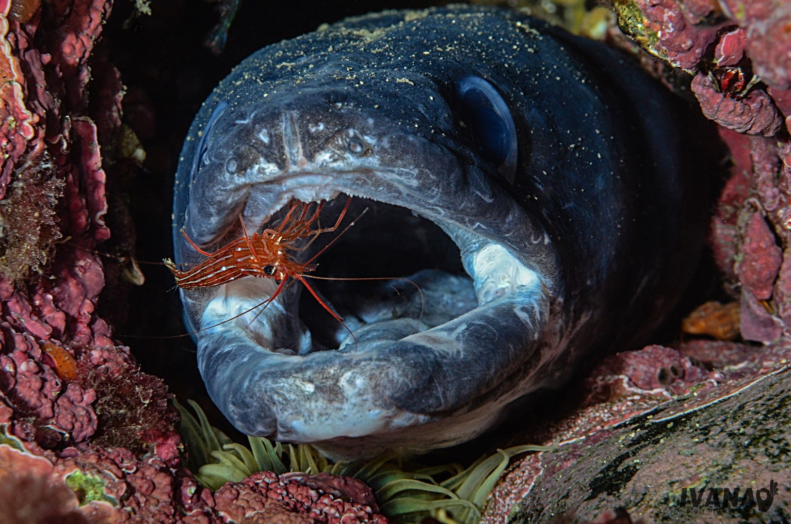 How a conger eel brought the Serbian and Irish together • Mares - Scuba Diving Blog
