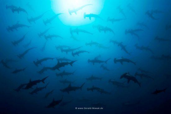 Bogenstirn-Hammerhai